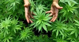marijuana-1-main-pic-638x425