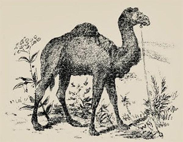 cammello1